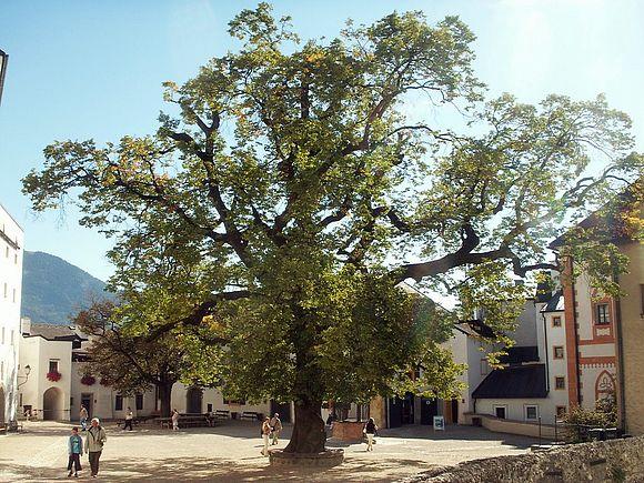 200-jährige Linde im Burghof der Festung Salzburg